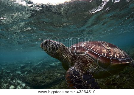 Sea turtle (Chelonioidea) underwater shoot in a shallow water