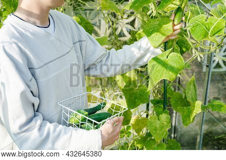 Close Up Young Male Hands Picking Harvest Of Fresh Cucumbers In The Sunny Garden Greenhouse. Harvest