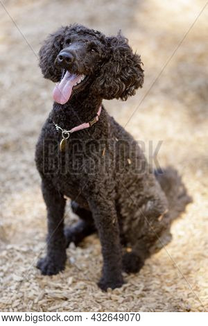 1-year-old Attentive Brown Mini Poodle Male. Off-leash Dog Park In Northern California.