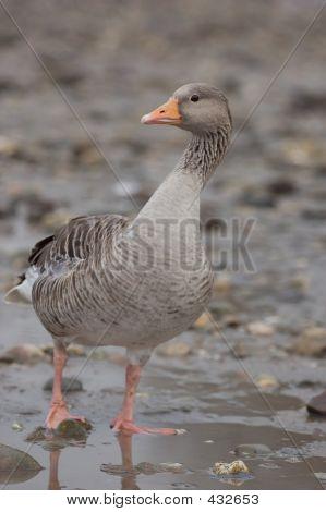 Greylag Goose 2