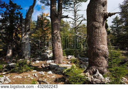 Large tree trunks of Lebanese Cedar trees - Rare and endangered species of trees in pine family, on Tahtali mountain \ mount Olympos along Lycian way hiking trail in Turkey Mediterranean region