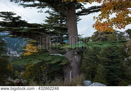 Closeup of Lebanese Cedar tree - rare and endangered species of trees in pine family, on Tahtali mountain \ mount Olympos along Lycian way hiking trail in Turkey Mediterranean region
