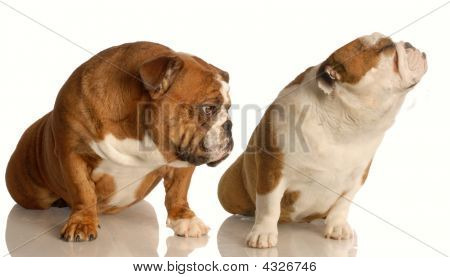 Bulldog With Nose Up And Another Kissing Up