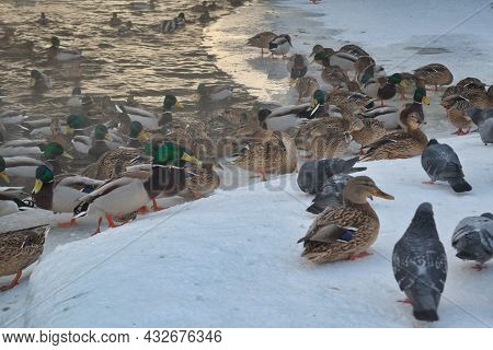 A Flock Of Wild Ducks On The Lake. Many Wild Ducks Swim In The Winter Lake. A Flock Of Wild Ducks In