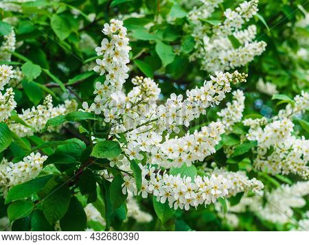 Branch Of White Blooming Bird Cherry Close-up