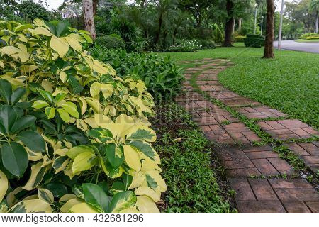 Tricolor Octopus Leaf Tree And Flowering Plant In Backyard And Front Yard Garden With Random Pattern