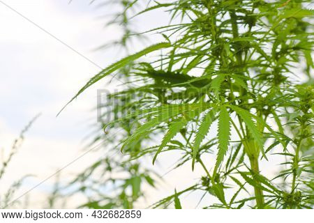 Plant Tops Of Wild Cannabis Sativa. Green Grass. Close-up.
