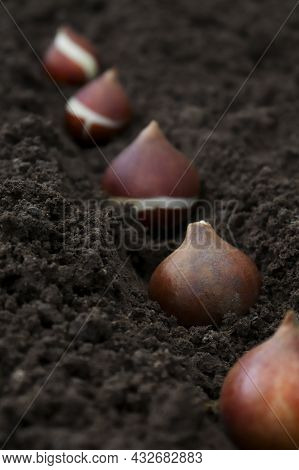 Tulip Tubers Planted In A Groove In The Ground By A Group Plan. The Concept Of Autumn Or Spring Plan