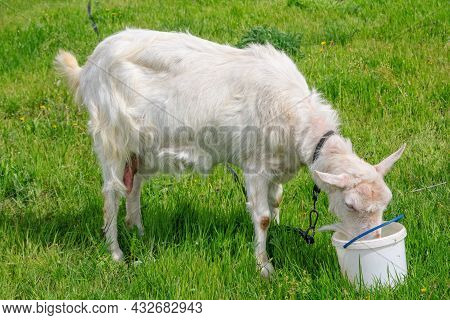 White Domestic Goat Standing Leashed On The Meadow With Green Grass, Drinking Water From The Bucket
