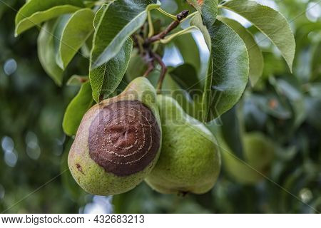 Rotten Pear On The Fruit Tree, Monilia Laxa (monilinia Laxa) Infestation, Plant Disease. The Lost Ha