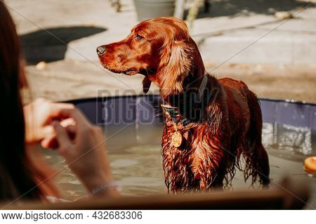 Wet Irish Red Setter In The Dog Pool On A Hot Sunny Day. Pet Space, Animal Care
