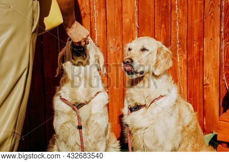 Two Adult Golden Retrievers On The Background Of A Rustic Fence. Happy Pets On A Summer Day. The Hos