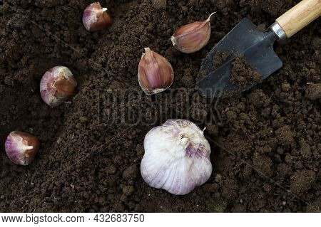 Young Garlic Cloves Are Planted In The Ground. Top View Of Garlic And A Spatula For Planting. A Lot