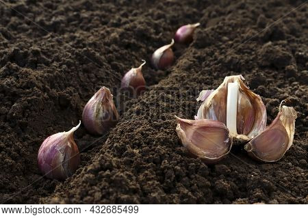 Garlic Planted In The Hole Soil Close-up. The Process Of Planting Garlic Cloves In The Garden. The C