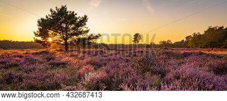 Panorama With Blooming Heather And Trees At Planken Wambuis And Ginkel Heath, Veluwe In Ede In The N
