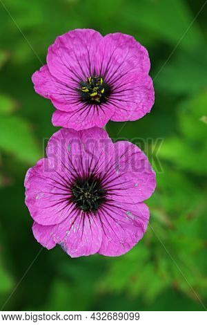 Pink Cranesbill, Unknown Geranium Species, Flower In Close Up With A Background Of Blurred Leaves.