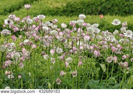 White And Pink Masterwort, Astrantia Major Unknown Variety, Flower Umbels In A Garden With White Bra