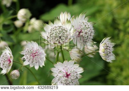White Masterwort, Astrantia Major Unknown Variety, Flower Umbels In Close Up With White Bracteoles T