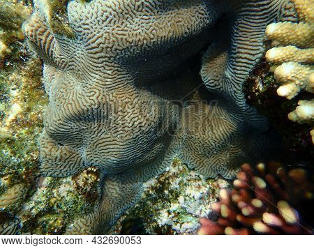 Lesser Valley Coral Or Hard Brain Coral (platygyra Lamellina) Undersea, Red Sea, Egypt, Sharm El She