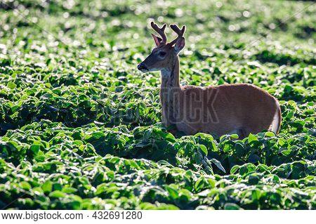 White-tailed Deer (odocoileus Virginianus) In Velvet Standing In A Wisconsin Soybean Field, Horizont