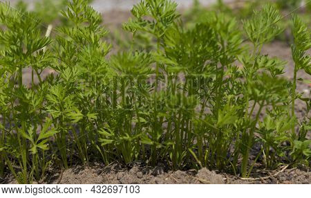 Young Carrot Seedlings In The Garden Close-up. Row Of Carrots Growing In Kitchen Garden