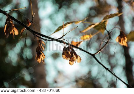 Dry Maple Seeds And Leaves On Maple Branch In Sunny Autumn Forest