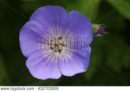 Purple Cranesbill, Unknown Geranium Species, Flower In Close Up With A Background Of Blurred Leaves