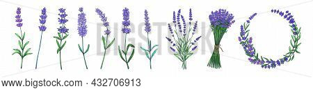 Hand Drawn Lavender. Colored Flower, Stems And Bouquet Of Odorous Garden Plants. Herbal Tea And Flor