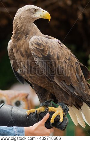 Mountain Eagle Sits On The Hand Of A Breeder,
