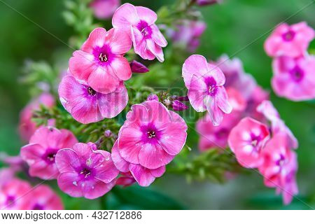 Phlox Flowers. Beautiful Large Inflorescences Of Pink Phlox On A Blurred Plant Background With Bokeh