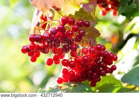 Red Viburnum. Large Clusters Of Red Berries Of Viburnum On A Blurred Background Of Leaves With Bokeh