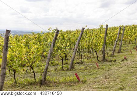 Vineyards With Grapevine For Wine Production Near A Winery. Grape Field Growing For Wine. Summer Sce