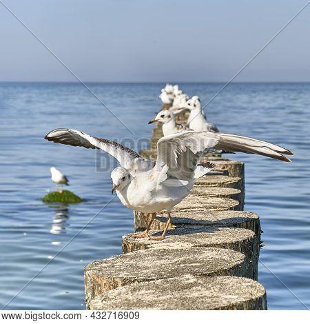 Seagull With Spread Wings On Wooden Breakwaters. Baltic Beach Of Svetlogorsk. Beautiful Seascape.