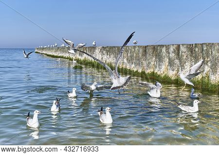Seagulls Flying, Swimming, Screaming Near Wooden Breakwaters On The Baltic Beach Of Svetlogorsk. Bea