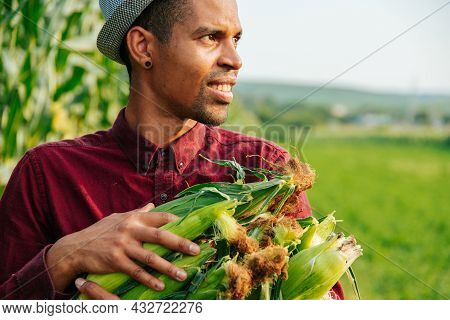 Harvest Time. Close Up Of African American Agronomist Collects Corn Cobs. Happy Modern Farmer With H