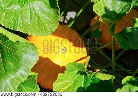 Big Pumpkins Growing On A Pumpkin Patch In A Village Close Up