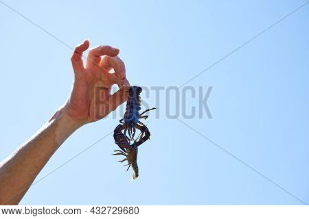 Invasive Species Of Crayfish From Europe. Isolated Background With Copyspace