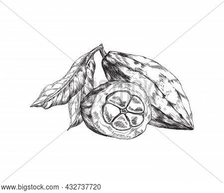Cocoa Or Cacao Pods With Leaves, Engraving Style Vector Illustration Isolated.