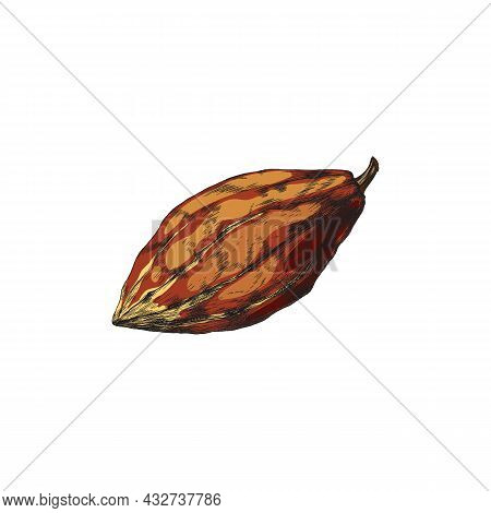 Whole Bean Of Chocolate Cacao Plant. For Cooking Of Nature Sweet Food Or Drinks.