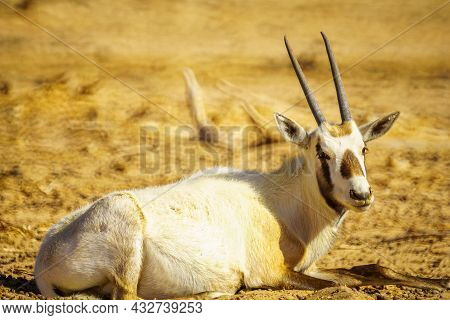 Arabian Oryx, In The Yotvata Hai-bar Nature Reserve, The Arava Desert, Southern Israel