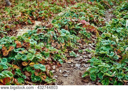 Leaves Of Strawberry In Autumn Morning. Strawberry Bunch Covered With Frost