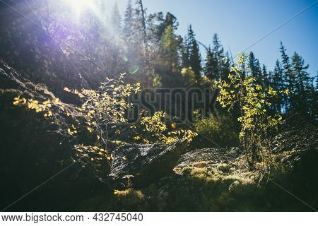 Sunny Autumn Landscape With Small Tree With Yellow Leaves In Golden Sunlight On Rocks. Beautiful Alp