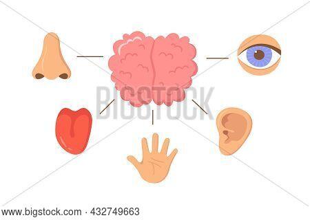 Brain And Human Senses Organ Set. Nose, Ear, Hand, Tongue, Eye. Sensory Organs. See, Hear, Feel, Sme