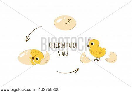 Stages Of Chiken Hatching Vector Illustration. Newborn Yellow Cute Chicken. Egg To Chicken Developme