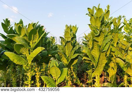 Stems Of Flowering Tobacco With Flowers And Flower Buds And Harvested Lower Leaves Against The Sky I
