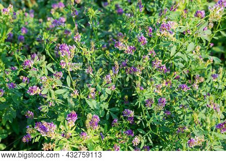 Fragment Of The Field With Flowering Alfalfa In Summer Day, Close-up