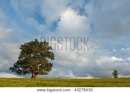 Old And Young Oak On Cloudy Summer Evening
