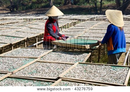 Sun Drying Of Anchovies