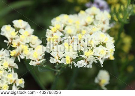 Closeup Of Yellow Statice Flowers Growing In Garden