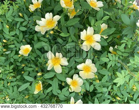 White And Yellow Flowers On The Ground. Plant Called Wild Rose.